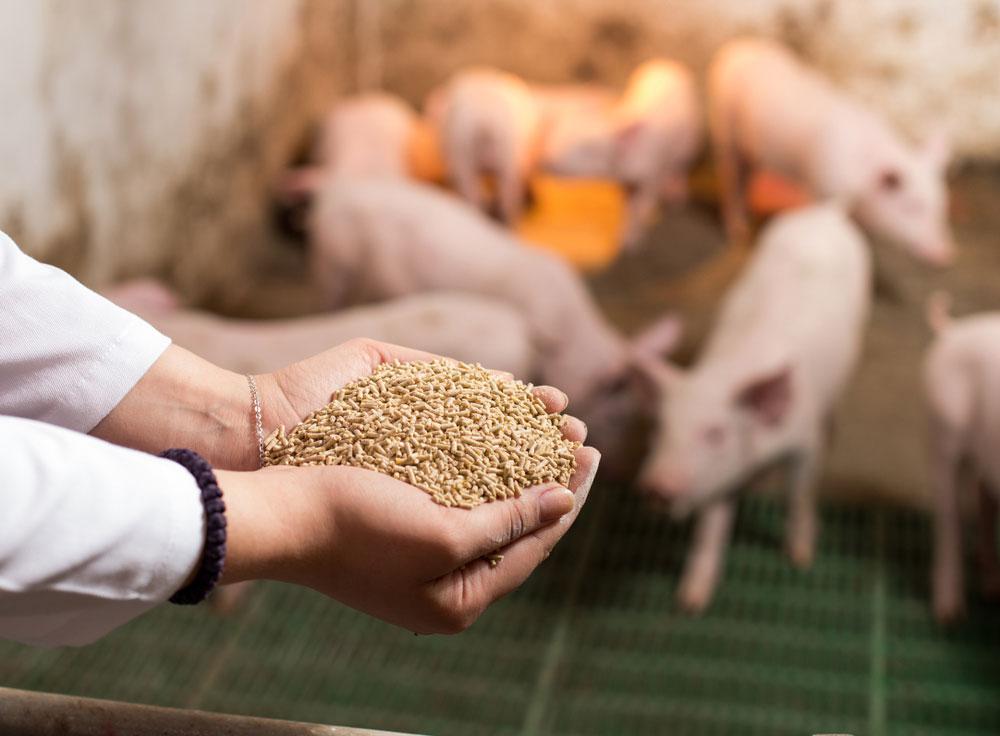Η πρωτεΐνη του πλάσματος στα στάδια διατροφής των χοίρων